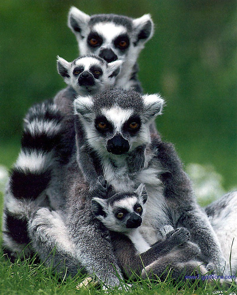 Lemurs 10 Funny Guys Who Just Don T Care Buddha Lemur