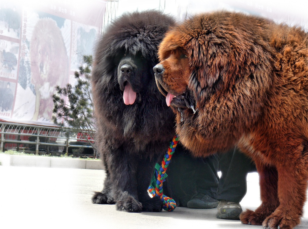 10 of the world u0026 39 s rarest dog breeds