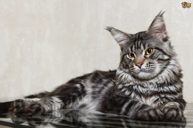 Animals: Top 10 Most Expensive Cat Breeds In The World!